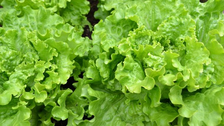 5-Razones-para-incluir-Lechuga-Batavia-en-tu-Alimentación